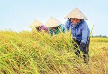 Mơ thấy gặt lúa